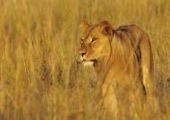 Lion walking in the Savannah