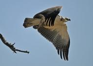 Immature Martial Eagle