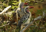 Red-billed Hornbill with chick