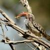 Hornbill with grasshopper