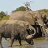 Elephants sharing water