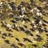 Flock of Red-billed Quelea