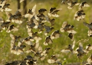 Flock of Red-billed Quelea
