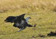 Immature Fish Eagle