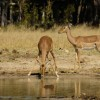 Impalas at Waterhole