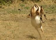 Impala – Strange jump!