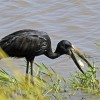 Open-billed Stork & mussel