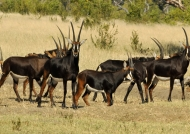 Sable Antelopes