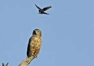 Banded Snake Eagle & Drongo