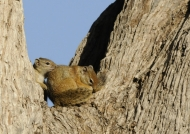Tree Squirrels