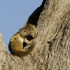 Tree Squirrels
