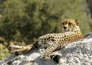 Cheetah peering at rest