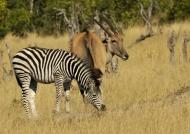 Zebra and Eland
