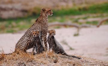 South Tanzania – Cheetah with cubs