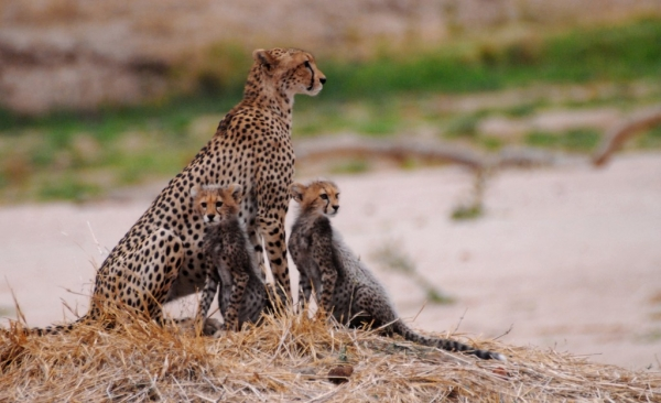 South Tanzania – Cheetah with cubs