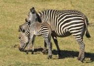 Female Zebra with its Foal