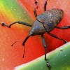 Curculionid Beetle