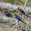 Lesser Striped Swallows