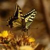 Corsican Swallowtail