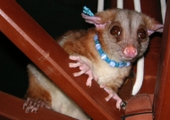 Tamed Woolly Opossum