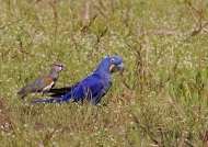 Hyacinth Macaw & Lapwing