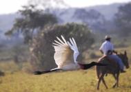 Jabiru Stork in hurry