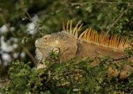Male Green Iguana