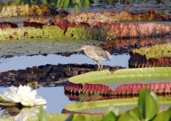 Striated Heron on Water Lilies