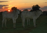 Zebus at sunset