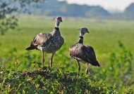 Southern Screamers