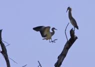 Whistling Herons