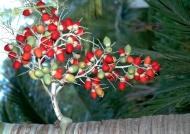 Christmas Palm tree fruit