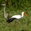Yellow-billed Stork & Heron