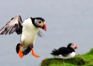 Puffin landing