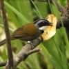 Colombian Brush Finch
