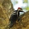 f. crimson-crested woodpecker