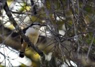 Bicolored Wren