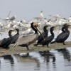Brown Pelican & Cormorants