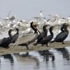 Brown Pelican & Cormorants