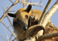 Collared Anteater