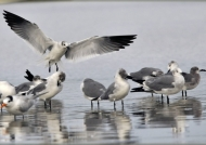 Laughing Gull landing