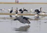 Olivaceus Cormorants