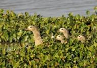 Orinoco Geese