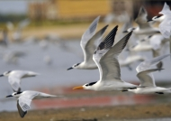 Royal Tern & Cabot's Terns