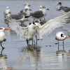 Royal Terns & Laughing Gulls