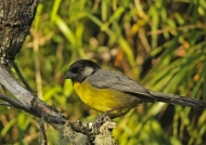 Santa Marta Brush Finch