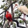 Scarlet Ibis & White Ibis