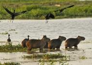 Capybaras at sunset
