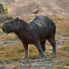 Capybara with its bodyguard