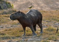 Capybara with its bodyguard